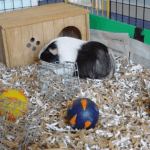 25 Best Guinea Pig Bedding In 2020 Reviews