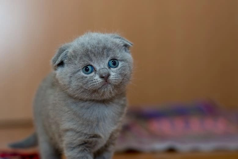 Adorable Animal Cat 127028