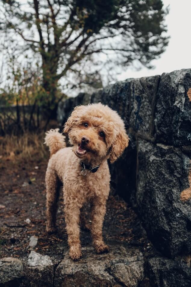 10 Best Dog Breeds for Kids and Selection Tips