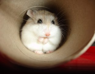 are-hamsters-good-pets