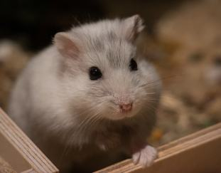 can-hamsters-eat-bread
