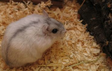 can-hamsters-eat-celery