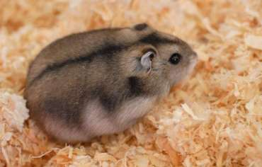 can-hamsters-eat-cucumber