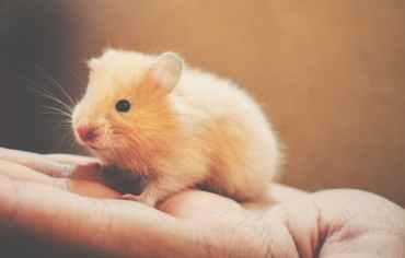 do-hamsters-fart