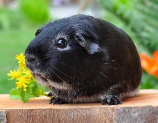 are-guinea-pigs-loud