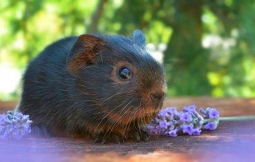 are-guinea-pigs-smart