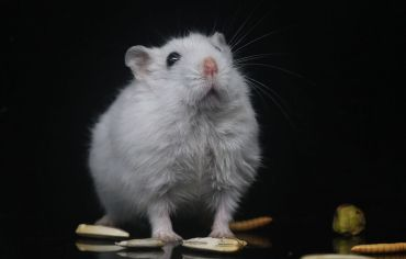 are-hamsters-omnivores