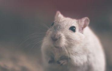 do-hamsters-need-shots