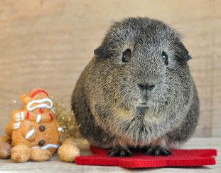 do-guinea-pigs-get-lonely