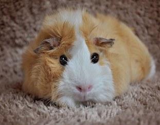 do-guinea-pigs-stink