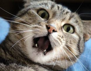 how-many-teeth-do-cats-and-kitten-have