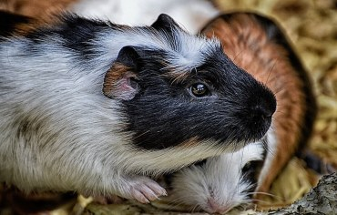 how-to-tell-if-a-guinea-pig-is-pregnant