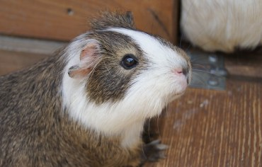 how-to-tell-guinea-pig-gender