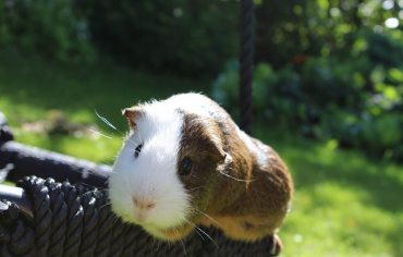 why-do-guinea-pigs-chirp
