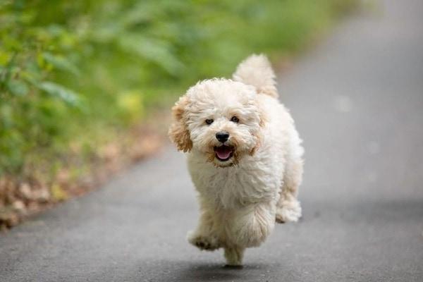 Chó Poodle - Nguồn gốc, cách nuôi, giá bán 2021  Poodle lai Phốc sóc