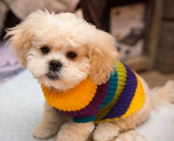 Chó Poodle - Nguồn gốc, cách nuôi, giá bán 2021 Chú Poodle lai Bắc Kinh