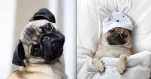 Các bệnh thường gặp ở chó Pug