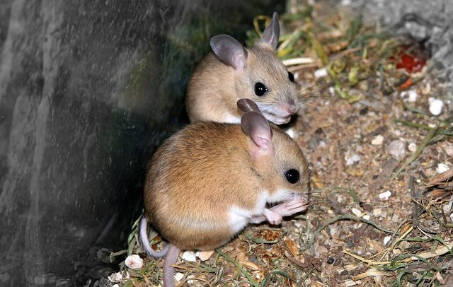 Mouse Droppings Identification Made Easy - Pet Mice Blog.co.uk