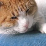 老猫がかかりやすい病気と対処法