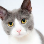 猫のフィラリア診断と治療費について