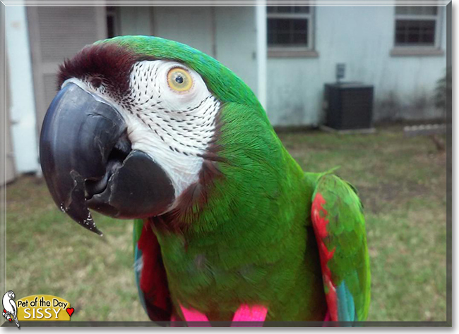sissy the severe macaw