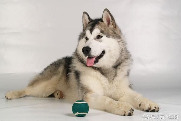 這十一種最受歡迎的狗兒。你最喜歡哪種呢? - JUSTYOU