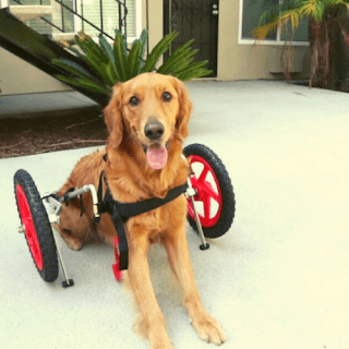 Dog Mobility Problems and Solutions