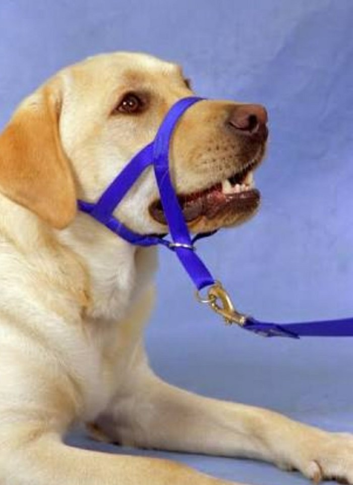 A head collar needs to be introduced with caution and patience