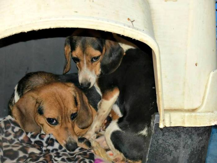 Fearful of thunder and other loud noises these small dogs shelter together in their safe space