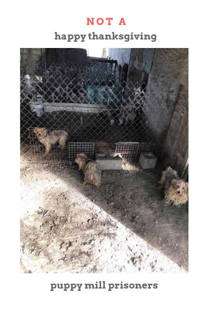 Not a happy Thanksgiving for puppy mill prisoners
