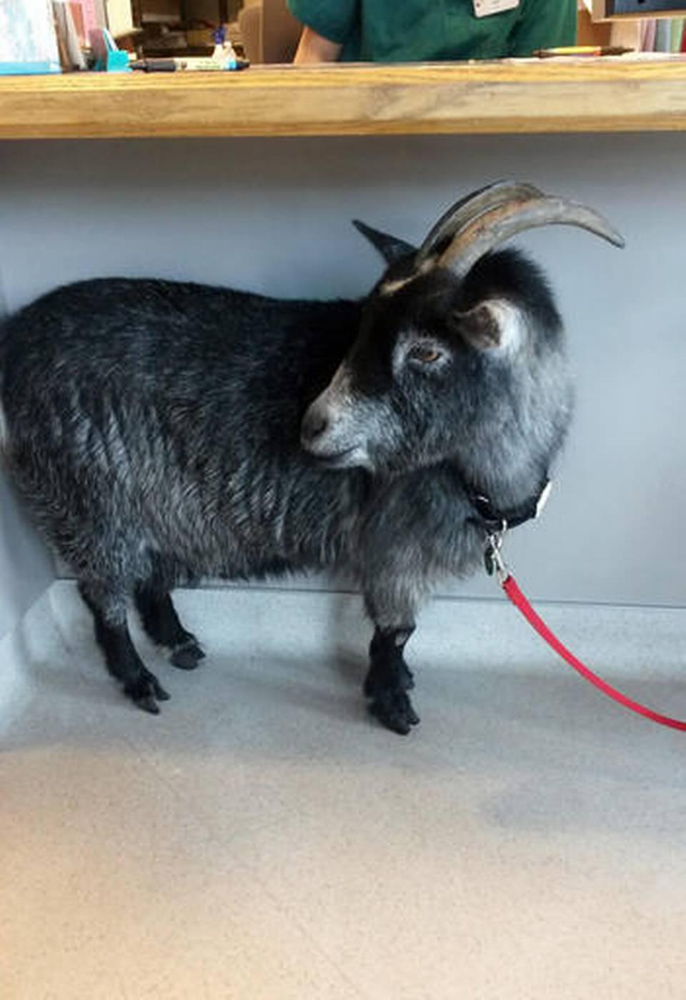 Goat Walks Into Starbucks