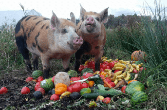 Can Pigs Eat Bananas Pet Pig World