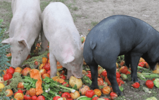 what is a pig diet