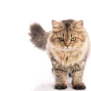しっぽが太い猫