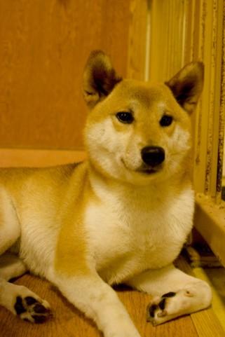 柴犬を室内飼いする際のポイント3つ。柴犬を家の中で飼おう