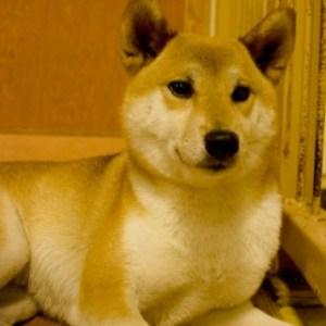 柴犬を室内飼いする際のポイント