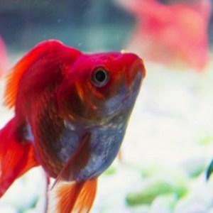 金魚の餌は何がベストか
