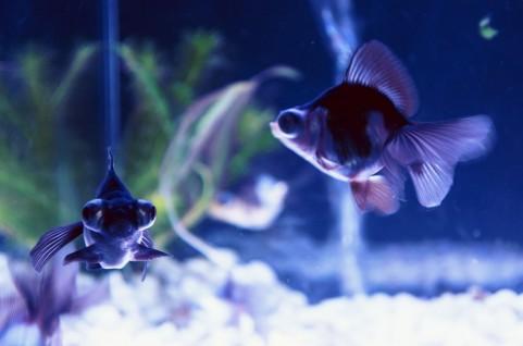 金魚の尾ぐされ病って何?【原因、症状、治療法、予防法】