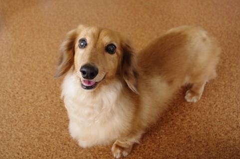 飼いやすい室内犬の種類。犬を室内飼いしよう