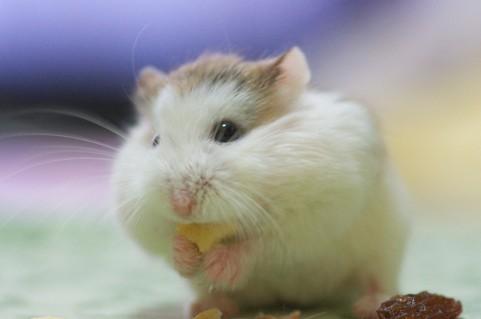 ハムスターの頬袋はどんな構造?食べ物をほっぺに入れられる仕組みとは