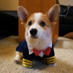 Two Corgi Fashion Stars