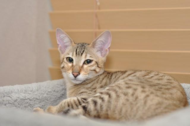 Savannah Cat The Largest Domestic Cat Pet Radio Magazine