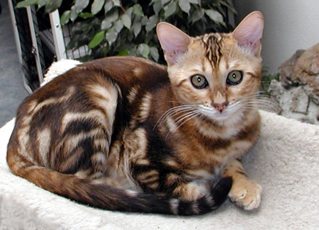 The Bengal One Of The Most Popular Cat Breeds With A Wild
