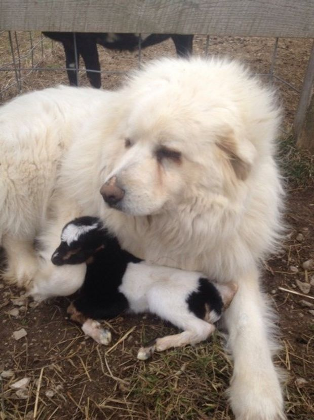 Farm Dog Becomes Guardian Angel For Baby Goat Pet Radio