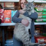 Andre the Giant is Living in a Pet Feed Store and is One of The Largest Domestic Cats