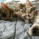 Feline Facts and Myth Busters: The Importance of Spay/Neuter