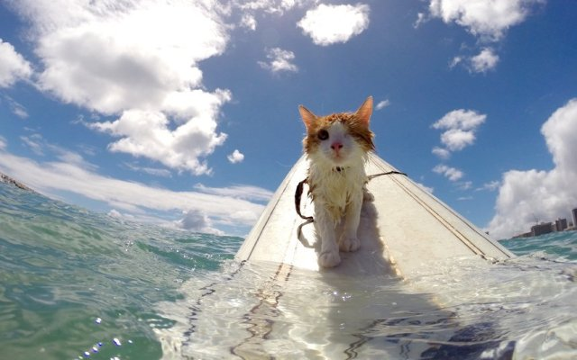 858x536xkuli-cat-surfing-b_3541361k.jpg.pagespeed.ic.2cIy3JWCt7