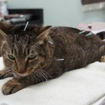 """UNDERSTANDING THE """"POINT"""" OF ACUPUNCTURE FOR CATS AND DOGS"""