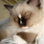A Guide to Adopting a Ragdoll Kitten