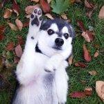 Buster's Friends: Meet Zeus the Pomsky